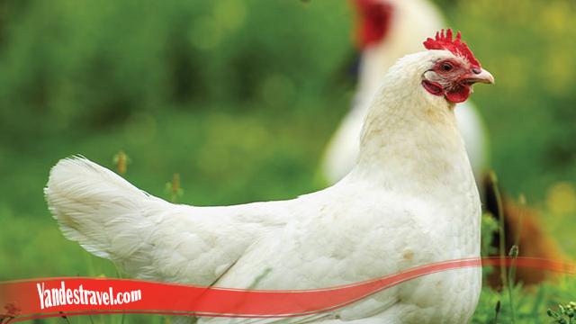 Awalnya Ketahui Tentang Sifat Ayam