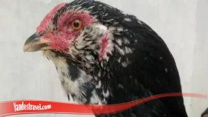Ayam Brewok Mengapa Sangat - Sangat Langka S128