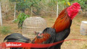 Pertama-tama kenali Ayam Bangkok Super
