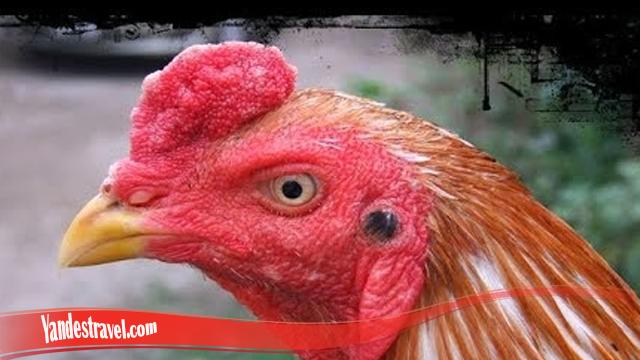 Terluka Pada Mata Ayam Gunakan Cara Ini