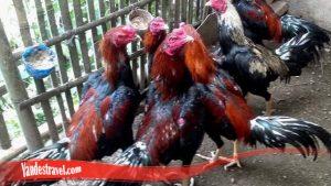 Ternak Ayam Bangkok Pakai Trik Berikut