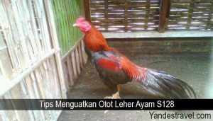 Tips Menguatkan Otot Leher Ayam S128