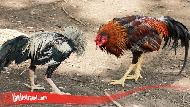 Cara Latihan Untuk Mental Ayam S128