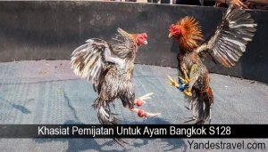 Khasiat Pemijatan Untuk Ayam Bangkok S128