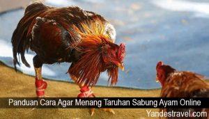 Panduan Cara Agar Menang Taruhan Sabung Ayam Online