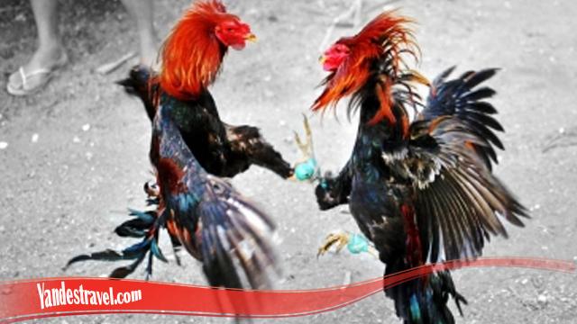 Penjelasan Arti Pukulan Bongkar Ayam Bangkok