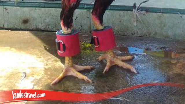 Perbesar Dan Kekarkan Otot Kaki Ayam SV388 Anda