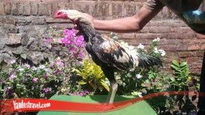 Sebelum Duel Rawat Ayam Anda Terlebih Dahulu